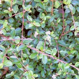 COTONEASTER RAMPANT - COTONEASTER HORIZONTAL - QUESTION 1179